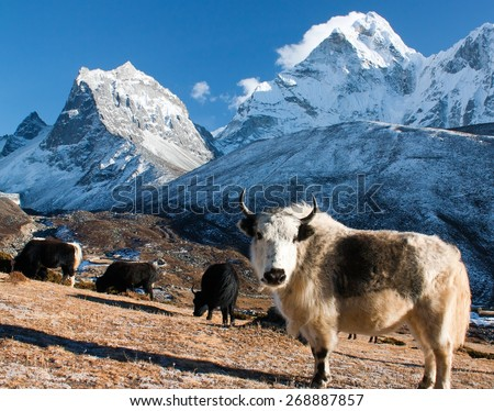 yak on pasture and ama dablam peak - way to Everest base camp - Nepal - stock photo