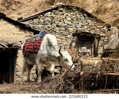 Yak tethered near a stone house in the Himalayas. Everest region, Himalayas, Nepal (Bos grunniens) - stock photo