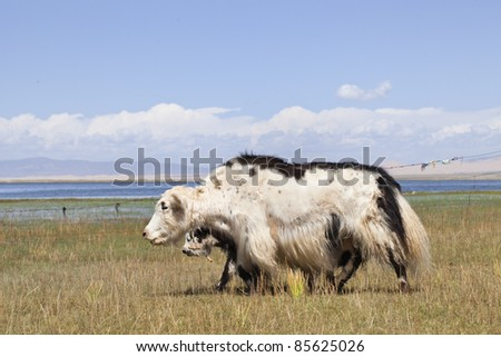 Yaks at the grassland near Qinghai Lake - stock photo