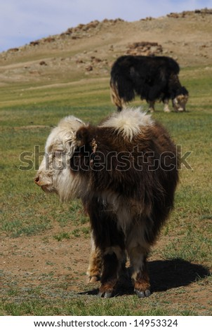 Yaks in Central Mongolia - stock photo