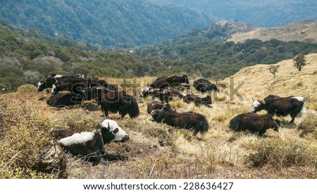 Yaks pasturing on mountain environment. Ghorepani, Nepal. Ghorepani village is a part of Annapurna Sanctuary trek, one of the most popular adventure circuit trek in the world. - stock photo