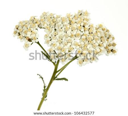 Yarrow Achillea millefolium - stock photo