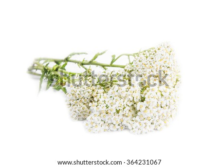 Yarrow (Achillea millefolium) medicinal plant isolated on white - stock photo