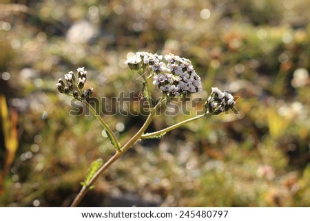 Yarrow flowers in Ischgl, Tirol, Austria. Scientific name is Achillea millefolium. - stock photo