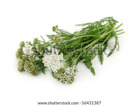 Yarrow herb  isolated on white background - stock photo