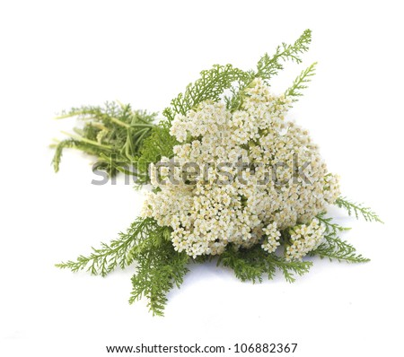 Yarrow herb on white background - stock photo