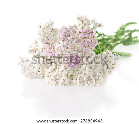 yarrow herb with white and pink flowers on a white  - stock photo