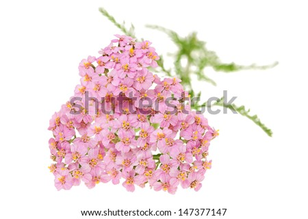 yarrow isolated on white background - stock photo