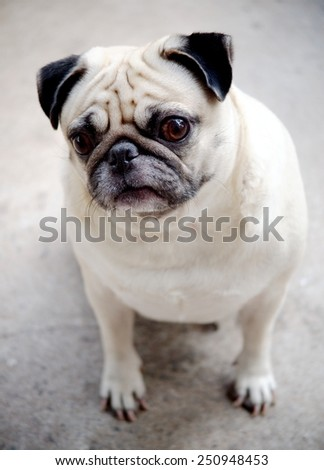 yawn lovely fat pug portraits sitting on concrete garage floor making sad face under morning light waiting for a walk. - stock photo