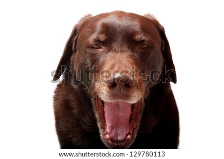 Yawning Dog - stock photo