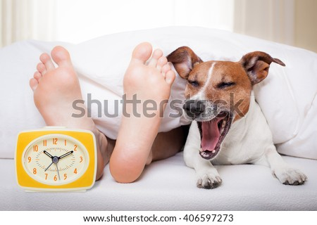yawning dog in bed with owner under white bed blanket sheet, with alarm clock, very early in the morning - stock photo