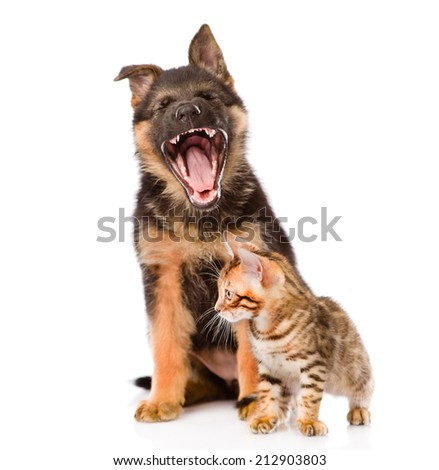 yawning german shepherd puppy and bengal cat together. isolated on white background - stock photo