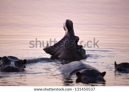 Yawning Hippo - stock photo