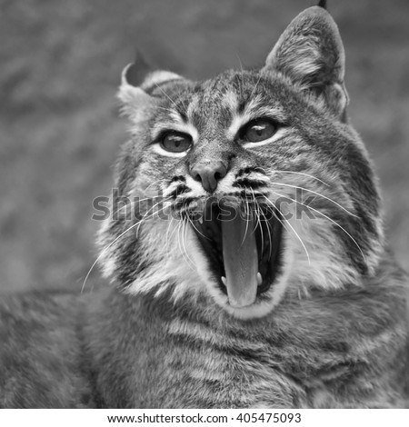Yawning of red bobcat female, very beautiful beast of the North American forests. The head of the dangerous predator. Cute and cuddly animal of the wildlife. Black and white square image.  - stock photo