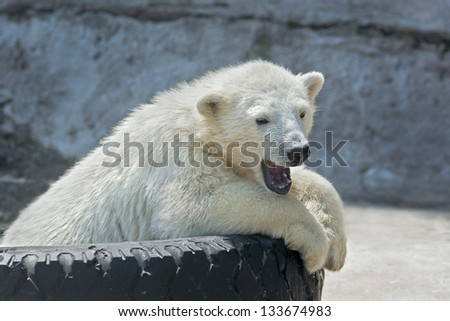 Yawning polar bear cub on tire bed - stock photo