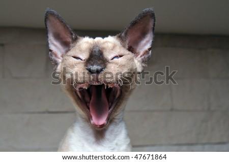 yawning Rex Devon cat - stock photo