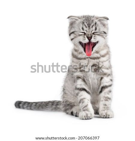 Yawning Scottish kitten - stock photo