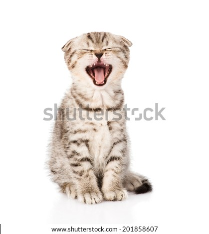 Yawning scottish kitten sitting in front. isolated on white background - stock photo