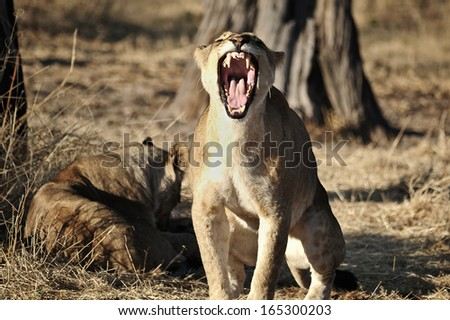 yawning young lion in the wild - stock photo