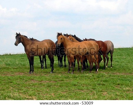 Yearling Quarter Horse Fillies - stock photo