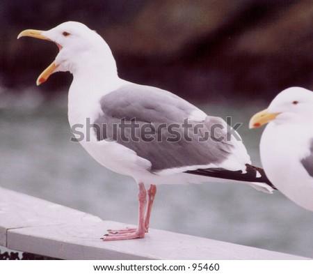 Yelling Seagull - stock photo