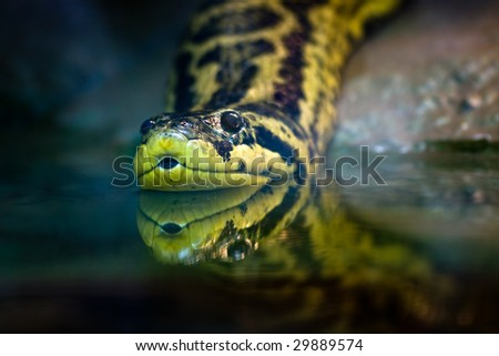 Yellow anaconda, native to South American swamps and marshes - stock photo