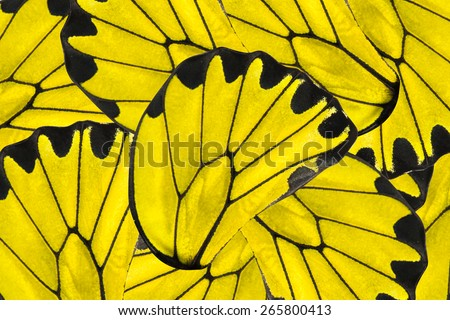 Yellow and black background of beautiful golden Birdwing butterfly - stock photo