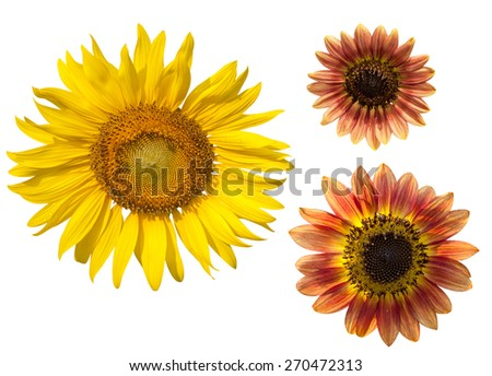 yellow and brown sunflower on white background.clipping path - stock photo