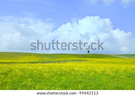 Yellow and green field, lonely tree and a light cloudy blue sky. Spring season in tuscany, classic italian landscape. - stock photo