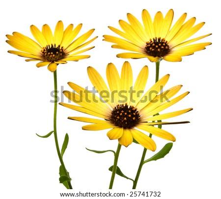 Yellow and orange Echinacea daisy Flowers on white background - stock photo