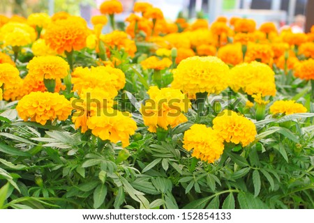 Yellow and orange marigolds - stock photo