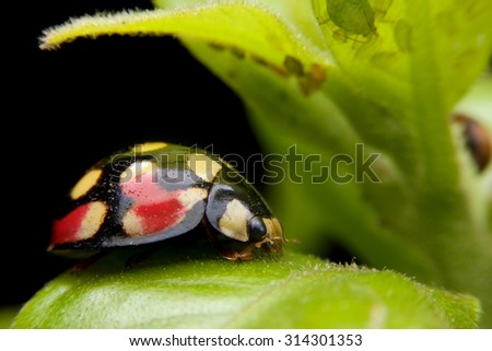 yellow and orange  pattern on black lady bug  is staying on leafs at Tanzania - stock photo