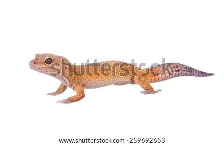 yellow and orange spotted leopard gecko on white - stock photo