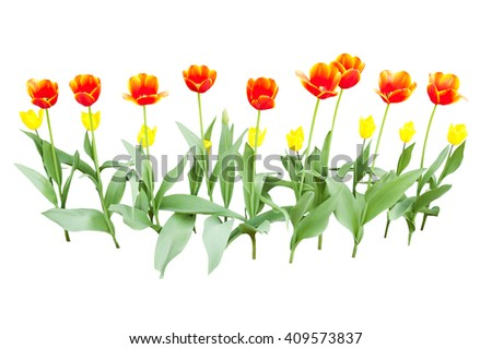 yellow and orange tulips isolated on white background - stock photo