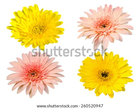 Yellow and pink Gerbera bloom Flowers isolated on white background. - stock photo
