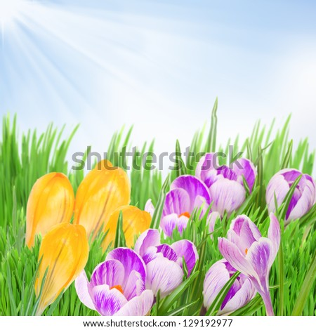 yellow and purple crocuses flowers growing from grass on sky background - stock photo