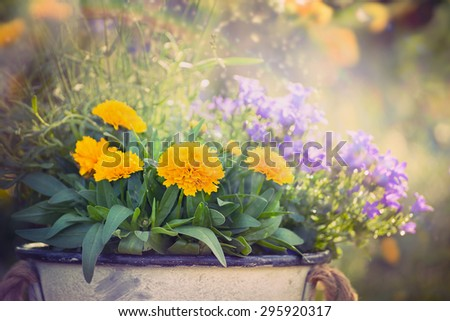 Yellow and purple garden flowers bunch on summer or autumn nature background, close up - stock photo