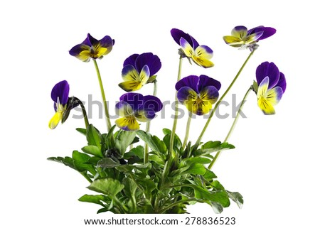 Yellow and Purple pansy flower plants isolated on white background - stock photo
