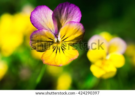 yellow and purple tricolor viola flower. Pansy. macro. flower background - stock photo