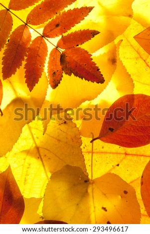 yellow and red leaves background - stock photo