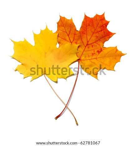 Yellow and red orange maple leafs isolated on white background - stock photo