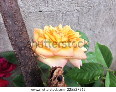 Yellow and red roses in front of a wall. - stock photo
