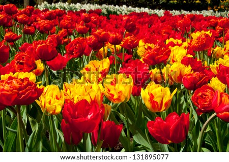 Yellow and red tulips flower spring background - stock photo