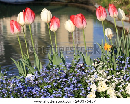 yellow and red tulips with water drops, multicolored garden flowers and pond on background, horizontal image, selective focus  - stock photo