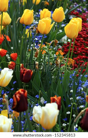 yellow and red tulips with water drops with multicolored garden flowers on background, selective focus - stock photo