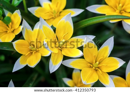 Yellow and White Tulip blossoming in garden on natural background (Tulip Tarda, late tulip). Beautiful bouquet of tulips. colorful tulips. tulip in the spring field. - stock photo