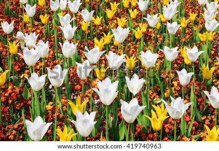 Yellow and white tulips blooming at the flower garden in Greenwich park of London, UK - stock photo