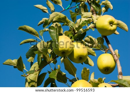 yellow apples attached to a tree already 'ripe to be harvested in a blue sky - stock photo