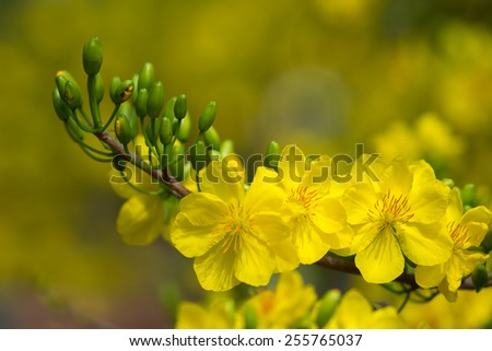 Yellow Apricot blossom closeup ( Hoa mai ) ,the flowers of traditional Vietnamese new year  - stock photo