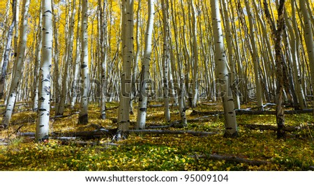 Yellow aspen leaves cover the forest floor in the Colorado Rocky Mountains in Fall. - stock photo